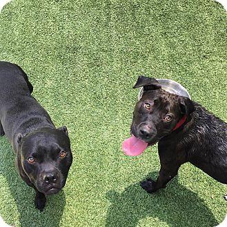 Labrador Retriever/American Pit Bull Terrier Mix Dog for adoption in santa monica, California - Trixie