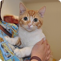 Domestic Shorthair Cat for adoption in Sunrise Beach, Missouri - Ryder