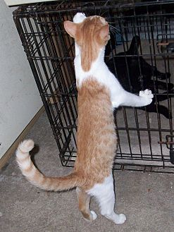 Domestic Mediumhair Kitten for adoption in Morriston, Florida - Blaze