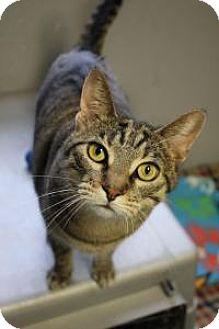 Domestic Shorthair Cat for adoption in Yukon, Oklahoma - Honor