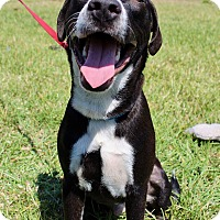 Adopt A Pet :: Ollie - Ft. Myers, FL
