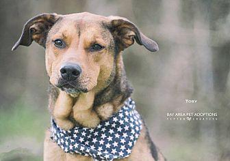 Shepherd (Unknown Type)/Labrador Retriever Mix Dog for adoption in San Leon, Texas - Toby