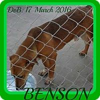 Adopt A Pet :: BENSON - Mount Royal, QC