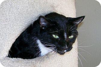 American Shorthair Cat for adoption in Scottsdale, Arizona - Cordelia(Cordy)