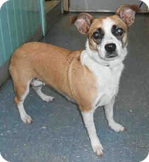 Corgi/Jack Russell Terrier Mix Dog for adoption in Orlando, Florida - Mila