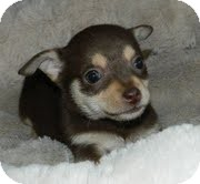 Chihuahua Mix Puppy for adoption in Hagerstown, Maryland - Lilly Putt
