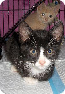 Domestic Shorthair Kitten for adoption in Richmond, Virginia - Cody