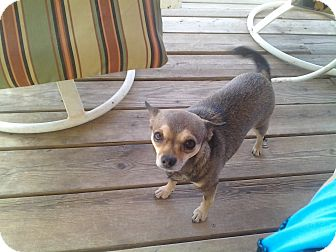 Chihuahua Dog for adoption in Seligman, Arizona - sissey & mama