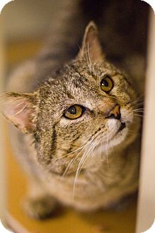 Domestic Shorthair Cat for adoption in Grayslake, Illinois - Aristotle