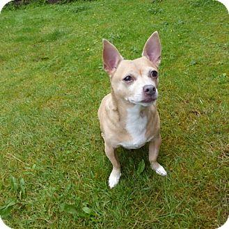 Chihuahua Mix Dog for adoption in Bellingham, Washington - Sammy