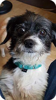 Shih Tzu/Terrier (Unknown Type, Small) Mix Dog for adoption in Bridgeton, Missouri - Kaci-Adoption pending