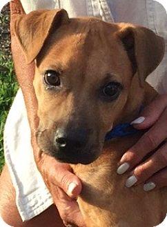 Adopt A Pet :: Puppy Love!!  - Ft Myers Beach, FL