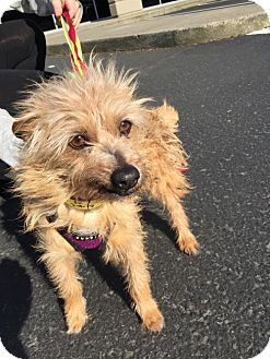 Cairn Terrier Dog for adoption in Seattle, Washington - Bobbi - Sweetest Lil Guy!