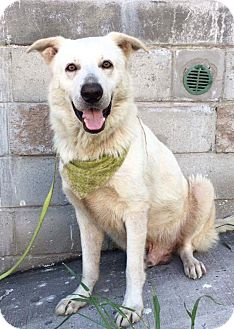 Labrador Retriever/Shepherd (Unknown Type) Mix Dog for adoption in Corona, California - WOLF