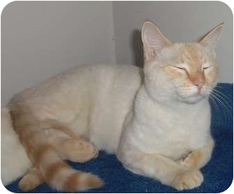 Domestic Shorthair Kitten for adoption in Orlando, Florida - Boots