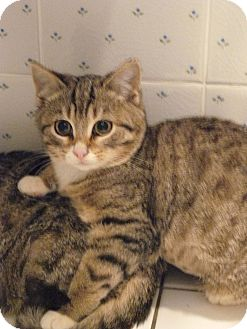 Domestic Mediumhair Kitten for adoption in Island Park, New York - Missy