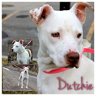 American Pit Bull Terrier Mix Dog for adoption in Garden City, Michigan - Dutchie