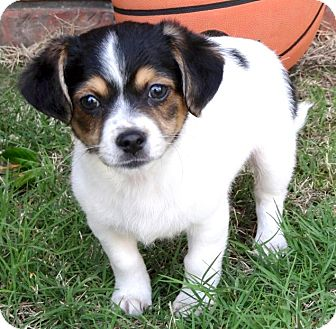 Beagle/Terrier (Unknown Type, Small) Mix Puppy for adoption in Westport, Connecticut - *Baby Brooke - PENDING