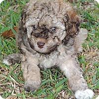 Adopt A Pet :: Gomer - La Habra Heights, CA