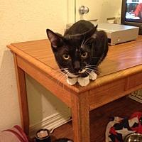 Domestic Shorthair Cat for adoption in Wichita Falls, Texas - Socks