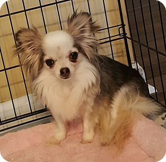 Chihuahua Mix Dog for adoption in Mount Pleasant, South Carolina - Anna