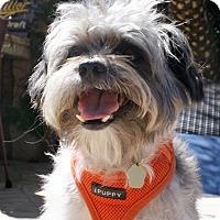 Adopt A Pet :: Suzy - Encino, CA