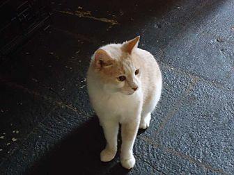 Domestic Shorthair Kitten for adoption in Central Islip, New York - Sunny