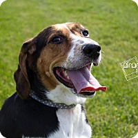 Hound (Unknown Type)/Coonhound (Unknown Type) Mix Dog for adoption in Mansfield, Ohio - Sally