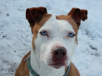 Husky/American Staffordshire Terrier Mix Dog for adoption in Long Beach, New York - Lovely Lady