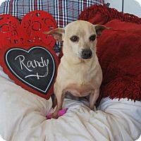 Adopt A Pet :: Randy - Saddle Brook, NJ