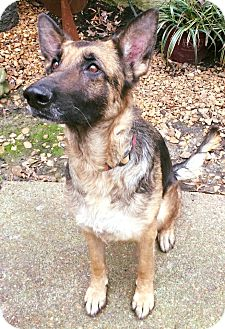 German Shepherd Dog Mix Dog for adoption in Greeneville, Tennessee - Stella