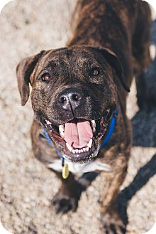 Terrier (Unknown Type, Medium)/Pit Bull Terrier Mix Dog for adoption in Cleveland, Ohio - Snoopy