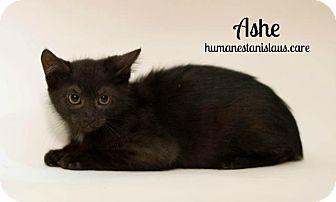 Domestic Shorthair Kitten for adoption in Modesto, California - ASHE