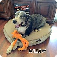 Adopt A Pet :: Willow (Ritzy) - Lindsay, CA