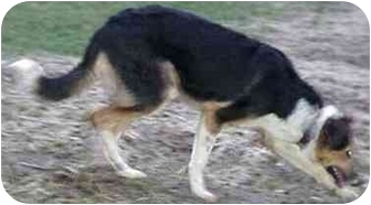 Border Collie Dog for adoption in Tiffin, Ohio - Trixie--ADOPTED!!