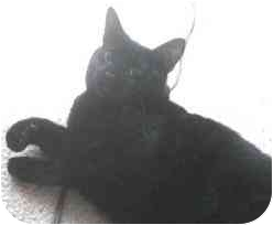 Domestic Shorthair Cat for adoption in Milford, Ohio - Mouse