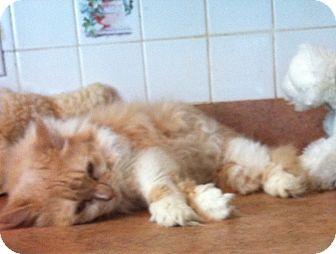 Domestic Longhair Cat for adoption in Jacksonville, Florida - Suki