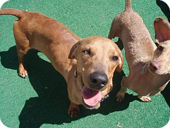 Dachshund Dog for adoption in Atascadero, California - Ruger