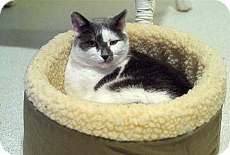 Domestic Shorthair Cat for adoption in Victor, New York - Smokey