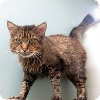 Domestic Shorthair Cat for adoption in Janesville, Wisconsin - Eli