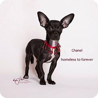 Chihuahua Mix Dog for adoption in Sherman Oaks, California - Chanel