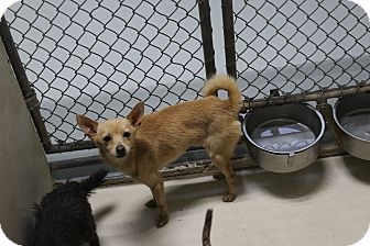 Chihuahua Mix Dog for adoption in Odessa, Texas - A36 Manson