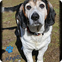 Adopt A Pet :: Krypto - Shippenville, PA