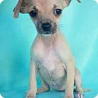 Adopt A Pet :: Cindy - Fredericksburg, TX