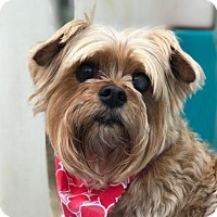 Adopt A Pet :: Yancey - Little Rock, AR