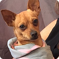 Chihuahua/Fox Terrier (Smooth) Mix Dog for adoption in Glendale, Arizona - MILLIE