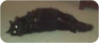 Birman Cat for adoption in Franklin, North Carolina - Chicita of Dreamcats