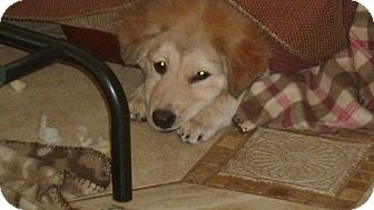 Collie/Australian Shepherd Mix Dog for adoption in Raleigh, North Carolina - NICKY