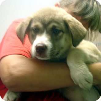 Husky/Shepherd (Unknown Type) Mix Puppy for adoption in Greencastle, North Carolina - Little Egypt