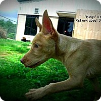 Adopt A Pet :: Dingo - Gadsden, AL